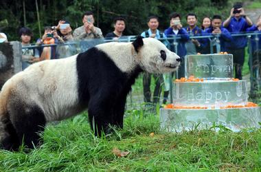 Огромная панда напала на китайского ученого и сломала ему обе руки