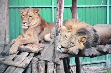 День в харьковском экопарке: покладистые львы, павлин-романтик и обидчивые обезьяны
