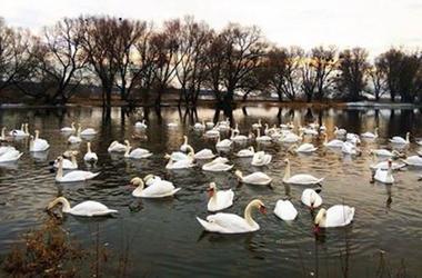 Во Львовской области в шахтерском городе остались зимовать лебеди
