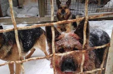 Под Киевом собаки насмерть загрызли прохожего