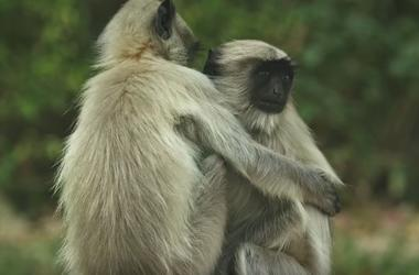 """Видеошок: обезьяны оплакивают """"смерть"""" робота, замаскированного под их сородича"""