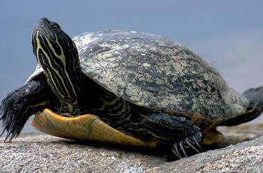 У индийского контрабандиста изъяли шесть тысяч редких черепах