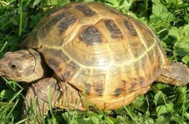 Черепаху, пострадавшую от секса, поставили на колеса
