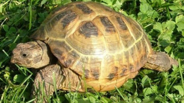 Самцу шпороносной черепахи, укоторого развился артрит отобилия секса, приделали колеса