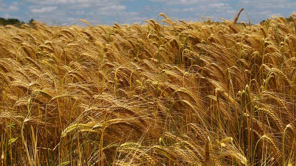 МинАПК: вУкраинском государстве собрано 66 млн тонн зерна
