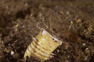 Scientists have captured on video, as it hunts underwater worm-killer