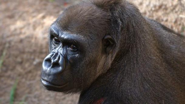 ВСША скончалась первая вмире горилла, появившаяся насвет взоопарке