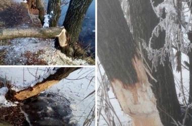 """На Позняках в Киеве бобры """"нападают"""" на деревья возле озера"""