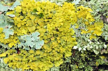 The scientists found the lichen, which helps to treat tooth decay