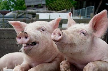 В Тернопольской области уничтожают свиней