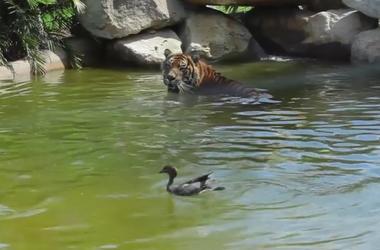 Храбрая утка купается в компании тигра