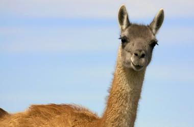 Im Zoo von Berdjansk geboren niedliche Lama-Guanako