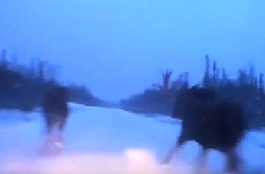Видеохит: канадец проскочил между двумя лосями