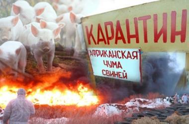В Харькове - карантин из-за африканской чумы свиней