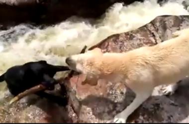 Видео спасения собаки собакой потрясло пользователей facebook