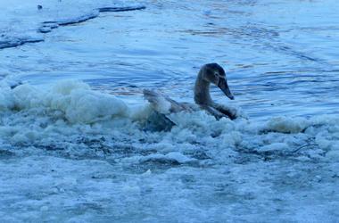 Под Киевом пожарные спасли замерзающего лебедя