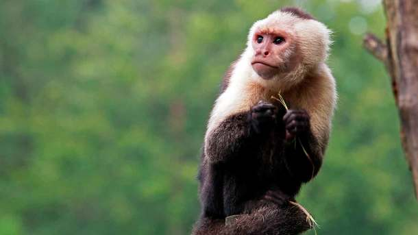 Сумский горсовет через ProZorro пытался приобрести обезьяну-капуцина