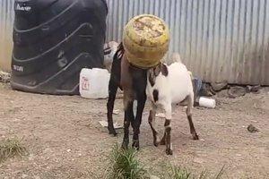 Прохожий спас двух козлов, которые застряли головами в одном бидоне