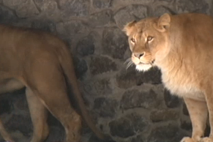 Как в Киевском зоопарке отметили День рождения львов