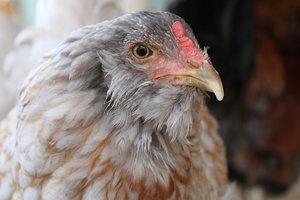 Европа согласилась покупать курятину из Украины