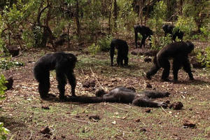 Фото: Jil Pruetz et al./ International Journal of Primatology