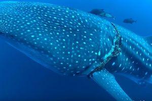 Гигантская китовая акула разрешила водолазу избавить ее от сетей