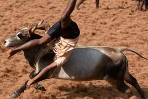 Опасные игры: как в Индии голыми руками быков укрощали