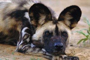 В частном зоопарке под Киевом показали щенков редкой гиеноподобной собаки