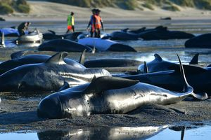 В Новой Зеландии погибшие дельфины могут начать взрываться