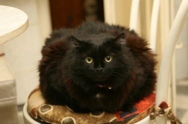 У самой толстой кошки украины