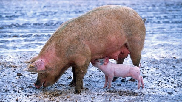 Поголовье свиней вгосударстве Украина уменьшилось доисторического минимума