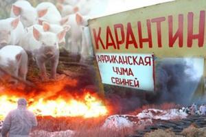 В Харьковской области – вспышка африканской чумы свиней