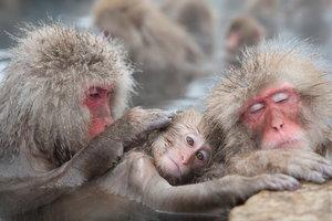 """В японском зоопарке усыпили более 50 снежных макак из-за обнаруженного в их генах """"чужого"""""""