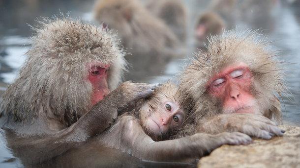 Взоопарке вЯпонии убили 57 обезьян-«полукровок»
