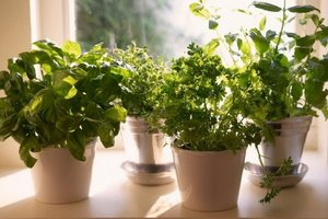 How to grow gourmet condiments on the windowsill, the leaves of cress and sprouts of alfalfa