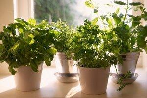 Come far crescere squisito condimento sul davanzale della finestra: le foglie di crescione e germogli di erba medica
