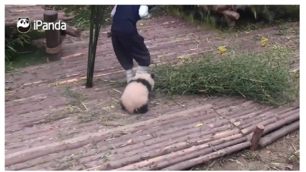 Видео с«пандой-прилипалой» покорило пользователей фейсбук