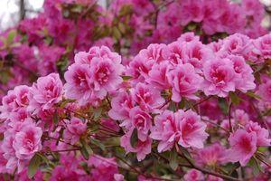 В Киеве расцвели азалии: как выглядят удивительные цветы