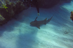 Акула попросила дайвера вытащить из нее нож
