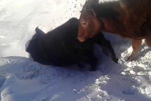 Пользователей Сети заинтриговало видео с коровами ныряющими в снег