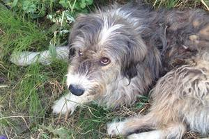 Под Киевом бойцовский пес растерзал полудомашнюю собаку – свидетели