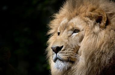 Пострадавший в схватке с львицей сотрудник цирка: Я пытался загнать ее в клетку ногой