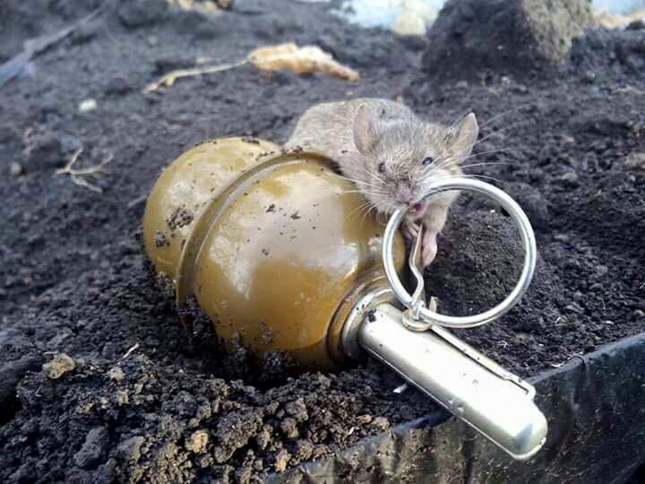 Мышь рататуй фото 4