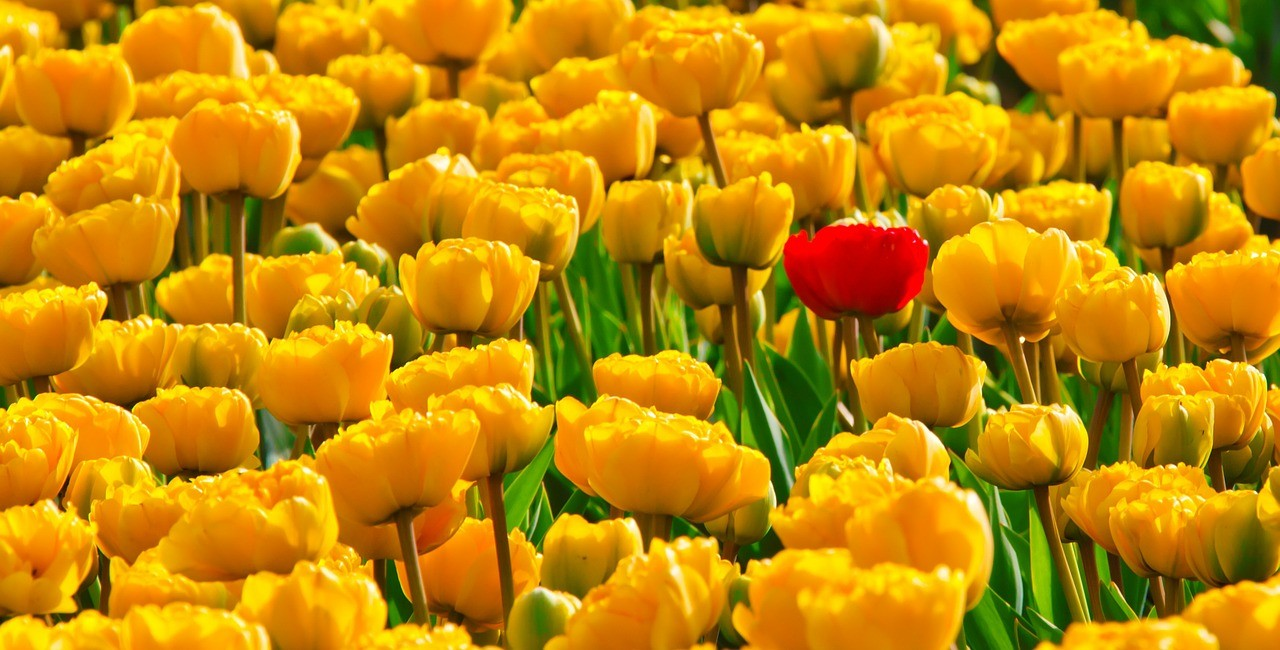 tulips-15155_1280