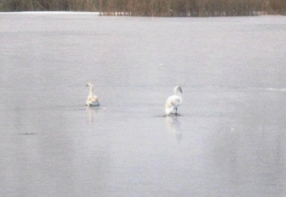 Спасатели освободили лебедей из ледяного плена