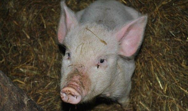 pig-1819313_1280
