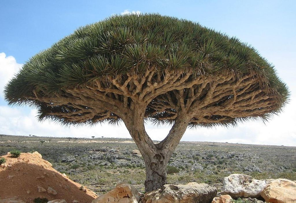 1024px-socotra_dragon_tree