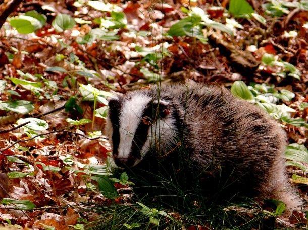 badger-625801_960_720