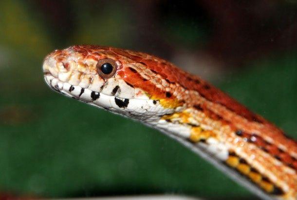 corn-snake-2034552_960_720