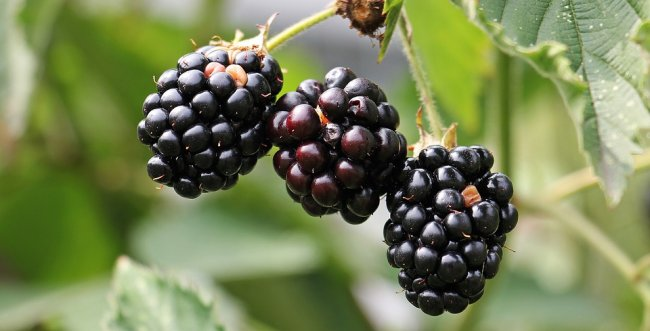 blackberries-1539540_960_720